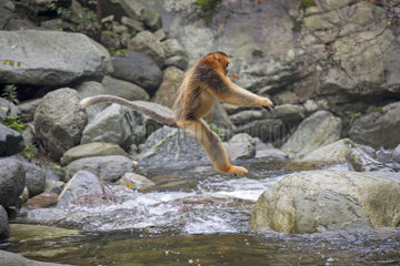 Golden Snub-nosed Monkey (Rhinopithecus roxellana) crossing a river  Qinling Mountains  Shaanxi province  China