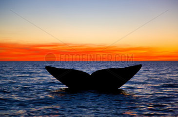 Southern Right Whale tail at sunset - Argentina
