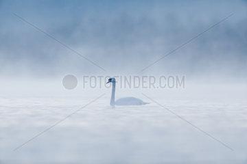 Mute Swan (Cygnus olor) in the mist at dawn  Ile du Rhin  Alsace  France