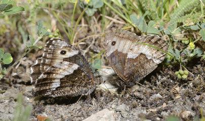 Woodland Grayling (Hipparchia fagi) courtship  Mercantour  Alpes  France