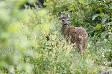 Roe deer (Capreolus capreolus) fawn in spring  Alsace  France