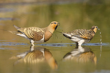 Pin-tailed Sandgrouses couple in water - Spain