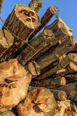Destructive Pholiota (Pholiota destruens) on Logs of Poplar  Haute Savoie  France