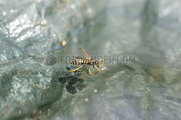 Paper wasp drinking from the water surface - France