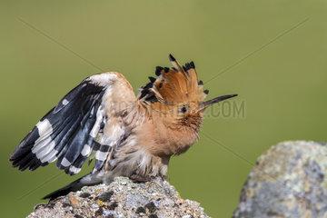 Hoopoe (Upupa epops) on rock  Andujar Natural Park  Jaen  Spain
