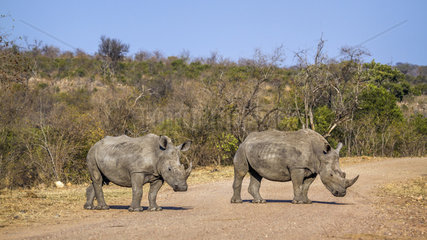 Southern white rhinoceros (Ceratotherium simum simum) on a track  Kruger National Park  South Africa
