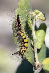 Rusty Tussock Moth (Orgyia antiqua)  Caterpillar on a leaf in spring  Plaine des Maures  near Vidauban  Var 83  France
