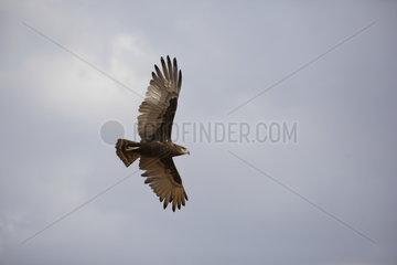Brown snake eagle (Circaetus cinereus) in flight  Samburu  Kenya