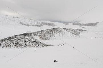 Chinstrap penguins on snow - Shetland du Sud