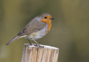 Robin (Erithacus rubecula) Robin perched on a post  England  Spring