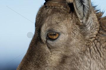 Alpine Ibex (Capra ibex) female eye detail  Suisse