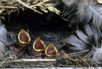 Young House Sparrows at nest