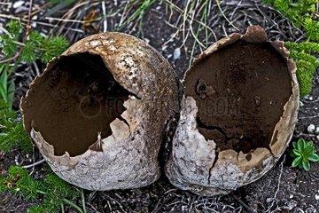 Mosaic puffball (Calvatia utriformis) in a subalpine field. Mare de Deu de les Ares. Esterri d'Aneu. Pallars Sobire . Lleida. Pyrenees. Catalunya. Spain.