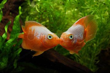 Parrod cichlids fighting in aquarium