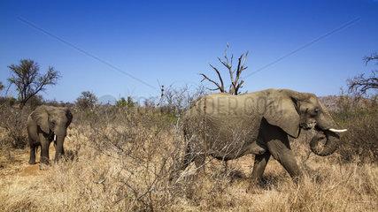 African bush elephant (Loxodonta africana africana) pair in savana  Kruger National park  South Africa