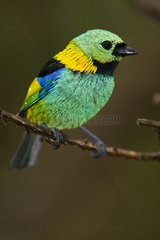 Green-headed Tanager on a branch - Atlantic forest Brazil