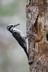 Three-toed woodpecker male at nest - Finland