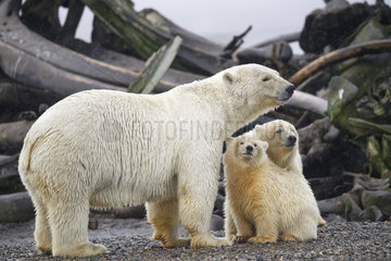 Polar bear (Ursus maritimus) female and youngs on whale remains on the shore  Barter Island  Northern Arctic Circle  Alaska.