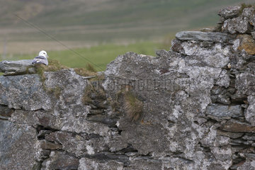 Fulmar (Fulmarus glacialis) Fulmar laying on a wall  Shetland  Spring