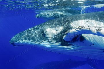 Humpback whale (megaptera novaeangliae) A humpback mother and calf pass the photographer.Tonga