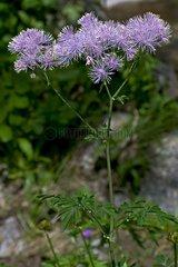 Blooming columbine meadow-rue (Thalictrum aquilegifolium). Banys de Tredos. Vall d'Aran. Lleida. Pyrenees. Catalonia. Espagne.