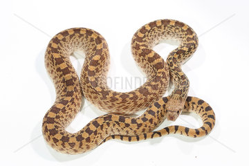 Gopher snake (Pituophis catenifer) on white background