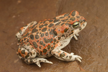 African Green Toad (Bufotes boulengeri) female red  South West  Morocco