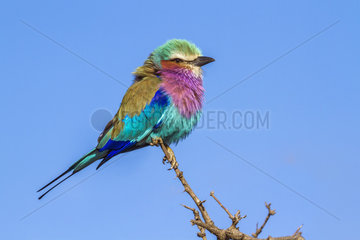 Lilac-breasted roller (Coracias caudatus) on a branch  Kruger National park  South Africa