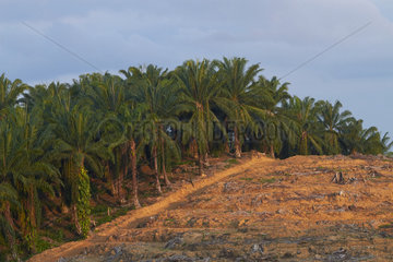 Landscape with oil palm (Elaeis guineensis) cultivation and deforestation. Borneo. Malaysia.