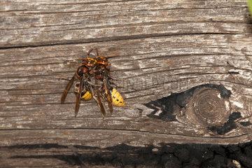 Courtship behaviour of European Hornets (Vespa crabro) on a beam  France