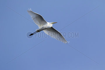 Great egret (Casmerodius albus) In flight over blue sky in spring  Surroundings of Hyeres  Mediterranean Coast  France