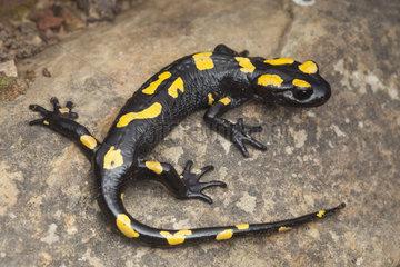 North African salamander (Salamandra algira splendens)  Morocco