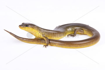 Yellow diving skink (Amphiglossus astrolabi) on white background