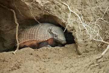 Hairy armadillo (Chaetophractus villosus)  emerging from burrow  Punta Norte  Vales Peninsula  Argentina