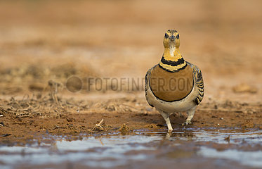 Female Pin-tailed Sandgrouse drinking at water hole - Spain