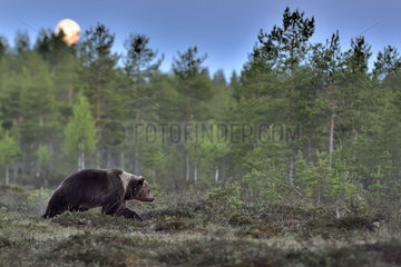 Male brown bear under the moonlight - Finland