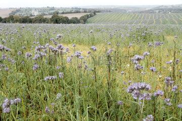 Lacy Phacelia (Phacelia tanacetifolia)  Locarn area  Brittany  France