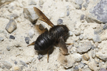 Carpenter Bee (Megachile parietina) female collecting mortar Ecrins National Park  Alps  France