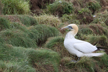 Gannet (Sula bassana) gathering grass and feathers to build its nest  Scotland