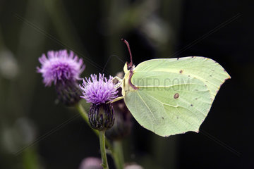 Brimstone (Gonepteryx rhamni)  Foraging on a flower of thistle in spring  Forest of the queen near Toul  Lorraine  France
