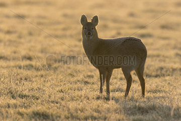 Chinese water deer (Hydropotes inermis) deer walking in a frosty meadow at sunrise  England  Winter