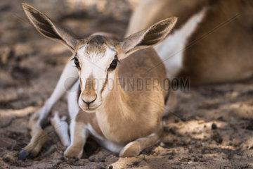 Portrait of a young Springbok (Antidorcas marsupialis) lying down  Kgalagadi  South Africa
