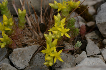 Goldmoss stonecrop (Sedum acre) flowers  Ardeche  France