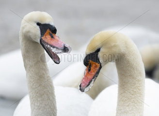 Mute Swans (Cygnus olor) with frozen beaks in winter  Sauer Delta Nature Reserve  Rhine River  Munchhausen  Alsace  France