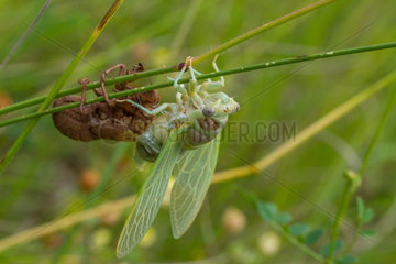 Cicada in the process of moulting  southern France