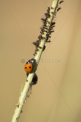 Sevenspotted lady beetle (Coccinella septempunctata) and Aphids on stem  Ardeche  France