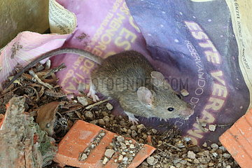 Domestic mouse (Mus musculus) in rubble  Spain