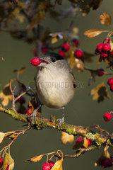 Blackcap male eating berry - Spain