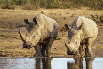 Southern white rhinoceros (Ceratotherium simum simum) pair at water point  Kruger National Park  South Africa