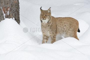 European Lynx in Winter  Lynx lynx  Bavarian Forest National Park  Germany  Europe